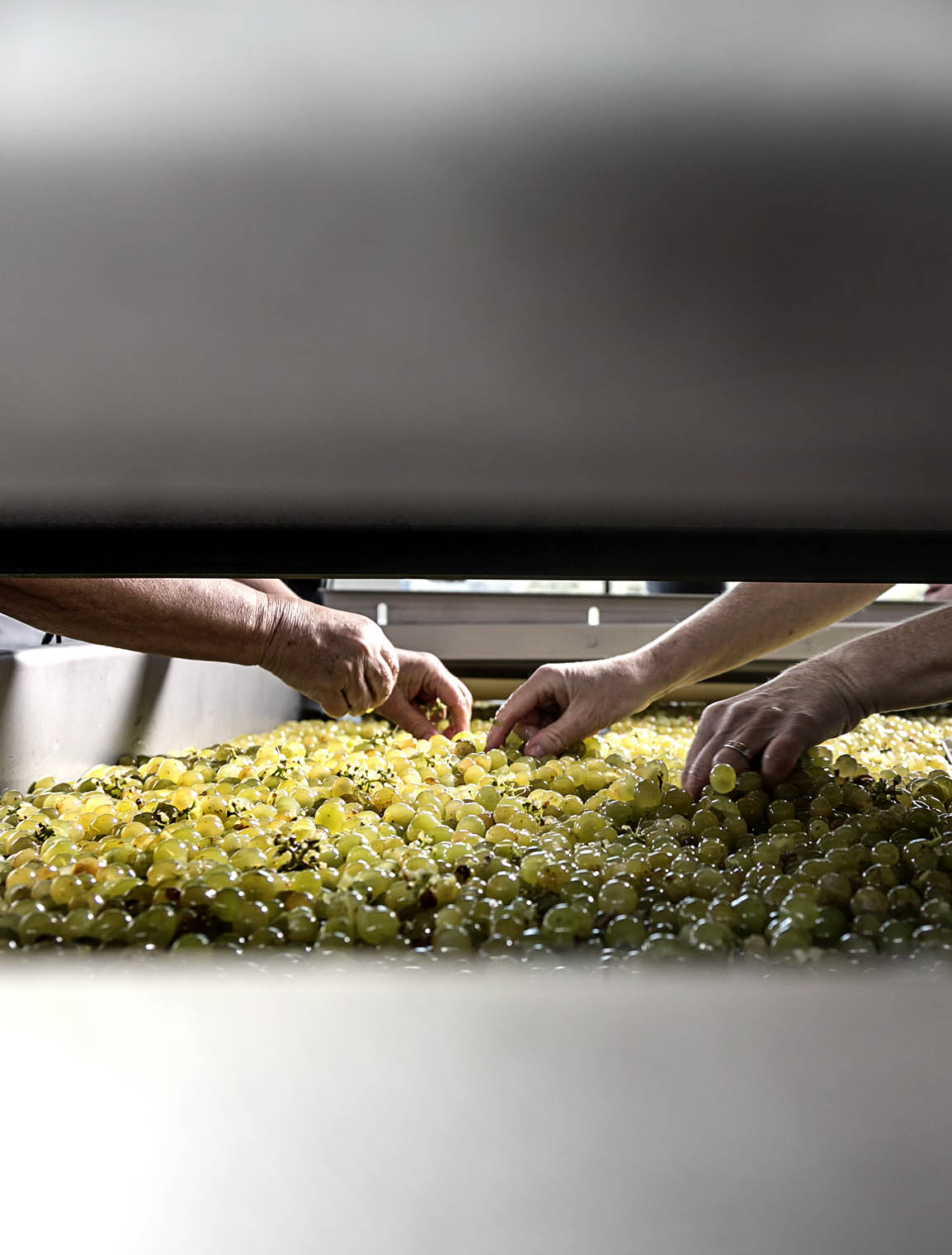 goedwinemakers__cleaning_grapes_hand