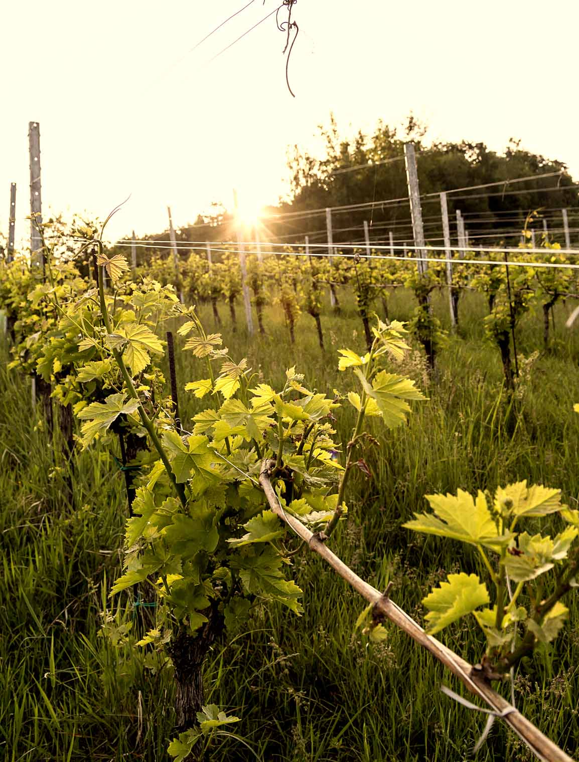 goedwinemakers_vines2_spring_sunrise