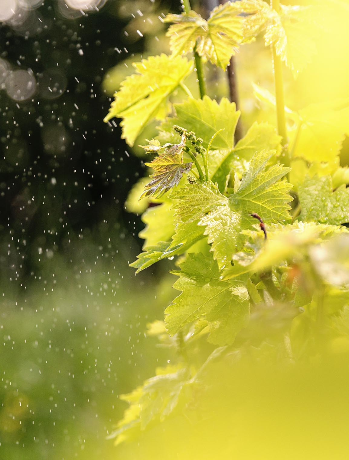 goedwinemakers_vines_rain_leaves_spring_sunrise