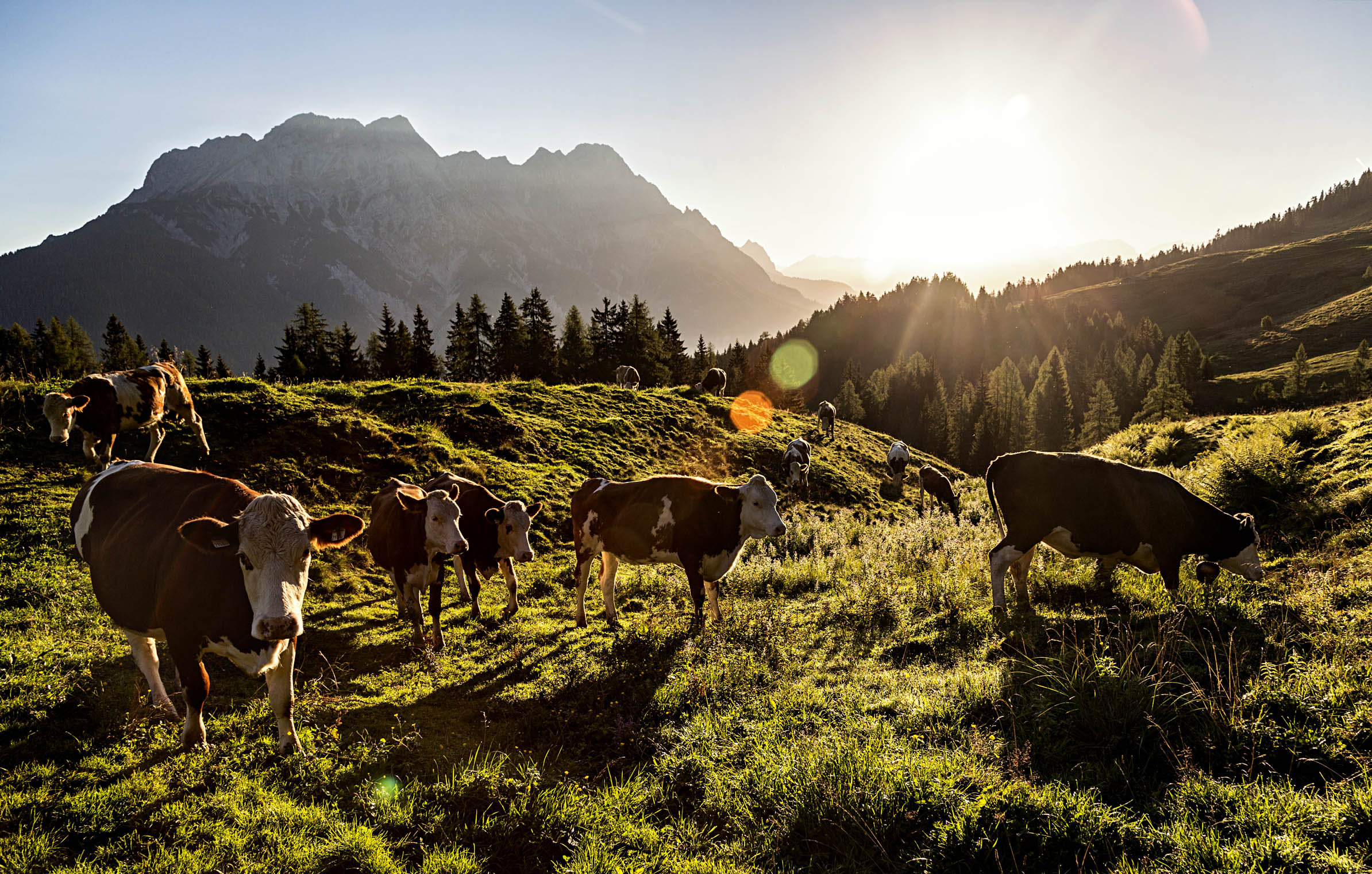saalfelden2_leogang_sunrise_cows_epic_bike_adventure