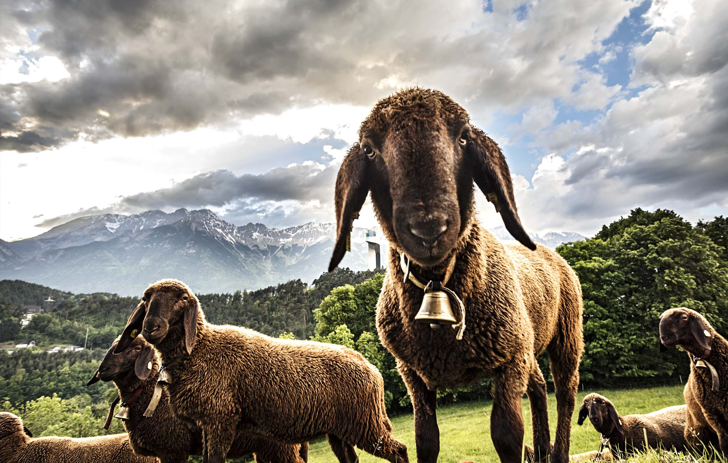 sheep_innsbruck_berg_isel_tourism_crankworx